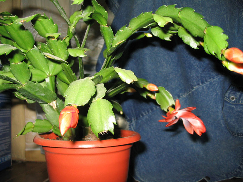 Рипсалидопсис  лесной кактус расцветающий к празднику Пасхи